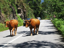 Scared Cows Walking Freely - Travel Europe, Portugal royalty free stock photos