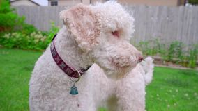Scared dog on green grass. Shy dog portrait outside. Animal emotion stock video