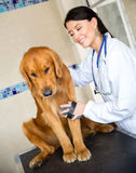 Scared dog at the vet Stock Photos