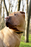 Scared female sharpei portrait. Scared sharpei female portrait in the forest Stock Images
