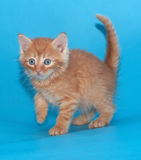 Scared fluffy ginger kitten on blue Stock Images