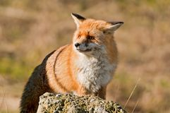 A scared fox. A fox that scared of an other animal Stock Image