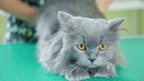 Scared gray fluffy cat in a veterinary clinic. British longhair cat stock video footage