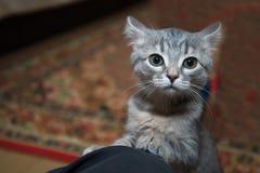 scared gray kitten stock images