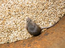 Scared gray rodent mouse sitting in a barrel with a supply of wheat grains and spoil the harvest. Little scared gray rodent mouse sitting in a barrel with a royalty free stock images