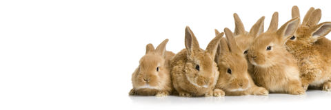 Scared group of bunnies. In front of a white background Stock Photography