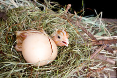 Scared hatched chick. Scared little newly hatched chick hiding behind its egg Royalty Free Stock Photography