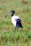 Scared ibis on grassland Royalty Free Stock Images
