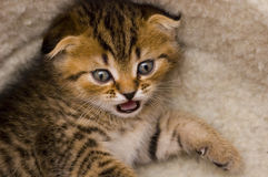 Scared kitten Royalty Free Stock Photography