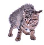 Scared Kitten Royalty Free Stock Photos
