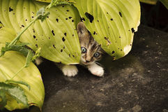 Scared kitten hiding Stock Image