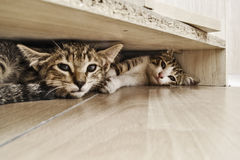 Scared kittens. Two scared kittens hidden under a desk Royalty Free Stock Photos