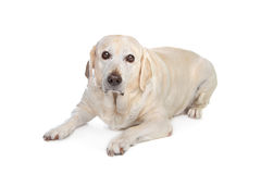 Scared labrador dog Stock Photos