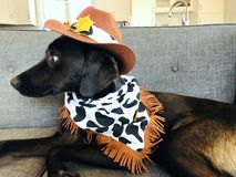 Scared labrador puppy dressed in Cowboy stock photos