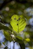 Scared leaf. Nature terrified environmental devastation and emerging diseases royalty free stock photo
