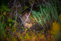 Scared Little Bunny Rabbit. Little Scared Rabbit young animals in the wild Royalty Free Stock Photo