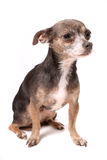 Scared little chihuahua dog Royalty Free Stock Images