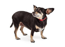Scared Little Dog Looking Back Stock Photos