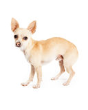 Scared Looking Chihuahua Dog Standing Profile Royalty Free Stock Photo