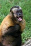 Scared monkey. Freaked out tufted capuchin monkey, Cebus apella Stock Image