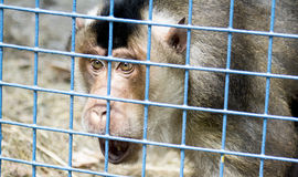 Scared monkey in a zoo cage Royalty Free Stock Photography