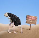 Scared ostrich burying head in sand under danger Stock Images