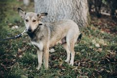 Scared pregnant dog with sad eyes and emotions walking in city street. Adoption concept. Portrait of cute gray dog in park. Dog royalty free stock images