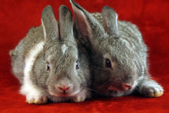 Scared rabbits. Grey and white rabbits sitting in the corner watching scared royalty free stock image