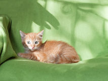 Scared red kitten afraid outstretched arms to him Stock Photos