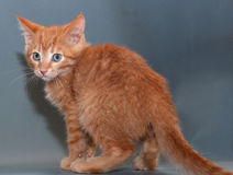 Scared red kitten standing on gray Royalty Free Stock Photography