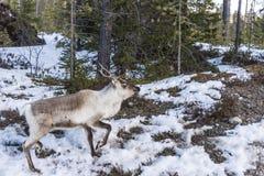 Scared reindeer Stock Photo