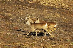 Scared roe deers running on agricultural terrain. Scared roe deers running on agricultural plowed terrain  Capreolus Stock Image