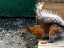 Scared squirrel royalty free stock images