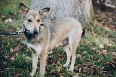 Scared stray dog with sad eyes and emotions walking in city street. Adoption concept. Portrait of cute gray dog in park. Dog. Shelter royalty free stock photography