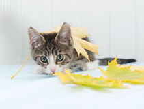 Scared striped kitten hiding in maple leaves Royalty Free Stock Photo