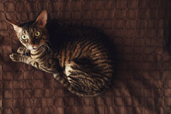 Scared stripped cat lies on a brown carpet Stock Photo