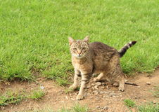 Scared tabby cat. Standing on meadow royalty free stock images