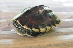 Scared turtle Stock Image