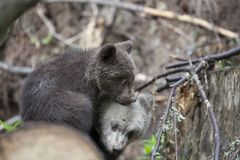 Let`s cuddle. Scared two baby brown bear brothers cuddling together between branches and fallen trees scared Royalty Free Stock Photo