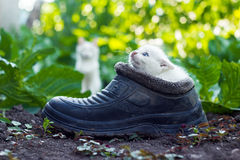 Scared white kitten sitting in old boot Stock Photos