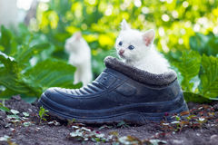 Scared white kitten sitting in old boot Royalty Free Stock Image