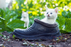 Scared white kitten sitting in old boot Stock Images
