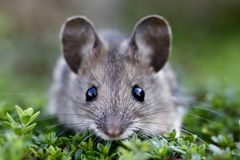 Scared house mouse. The house mouse lying on the green plant royalty free stock images