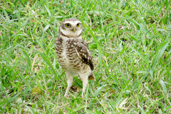 Scared yellow eyes owl on grass Stock Photography