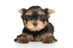 Scared York puppy Royalty Free Stock Photography
