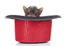 Scared yorkie toy Royalty Free Stock Photography