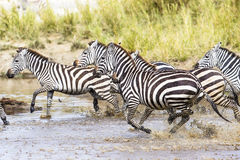 Scared zebras trots in the water Stock Images