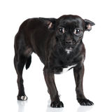Scaredlittle black dog Royalty Free Stock Images