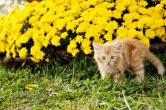 Scaredy cat yellow mums Stock Photography