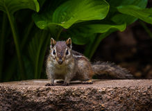 Scarface of the chipmunk world Stock Image
